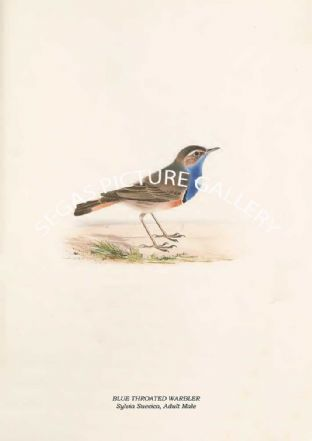 BLUE THROATED WARBLER - Sylvia Suecica